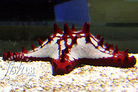 Red Knob Sea Star Protoreaster linckii